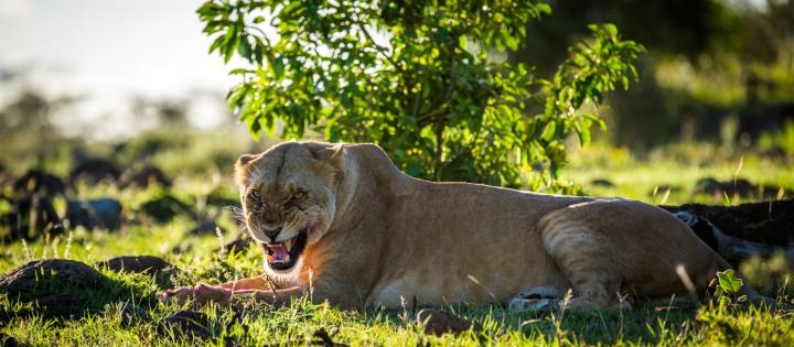 原本站著等, 最後趴下休息的另一隻母獅