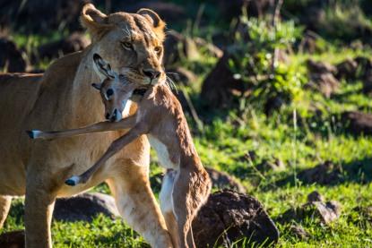母獅將未斷氣的小瞪羚擔著