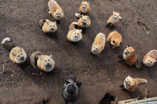 村裡大部分狐狸均是黃色種的日本狐狸