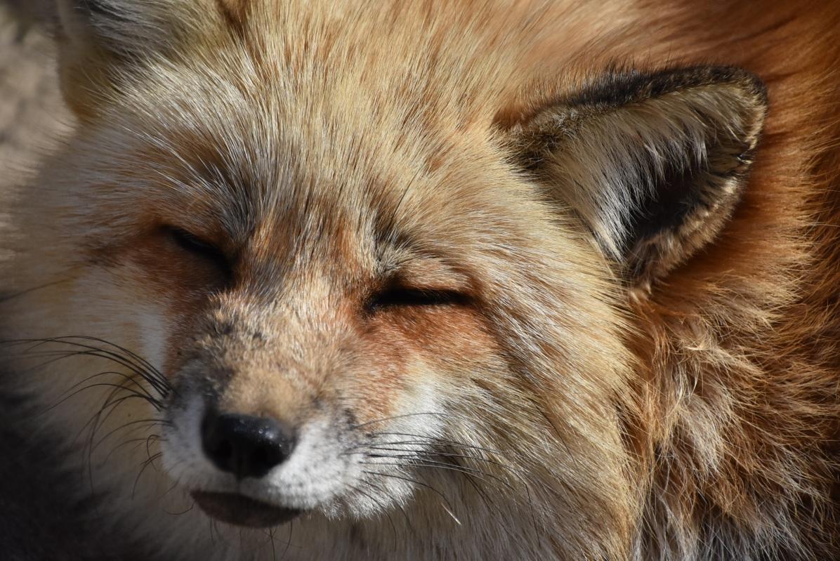 狐狸精能夠迷惑你嗎其實, 狐狸動作真的很像小狗!